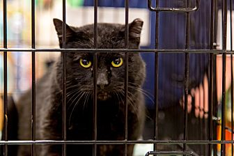 Domestic Shorthair Cat for adoption in Loudonville, New York - Grey Tiger