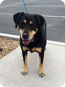 Labrador Retriever/Hound (Unknown Type) Mix Dog for adoption in Las Vegas, Nevada - Libby