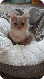 Devon Rex Kitten for adoption in Marietta, Georgia - Jupiter