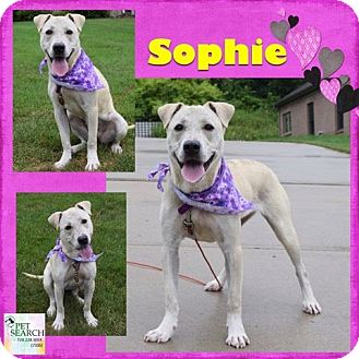 Labrador Retriever Mix Dog for adoption in Washington, Pennsylvania - Sophie