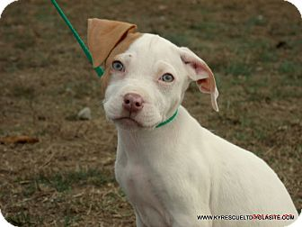 Labrador Retriever/Pit Bull Terrier Mix Puppy for adoption in parissipany, New Jersey - FROTOE/ADOPTED