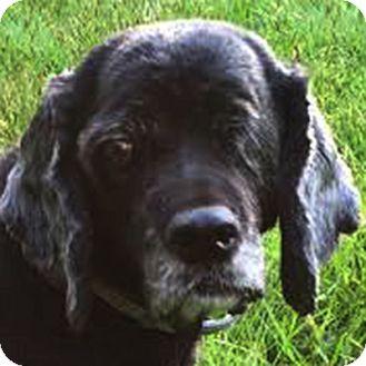 Cocker Spaniel Dog for adoption in Newington, Virginia - Sweet Missy