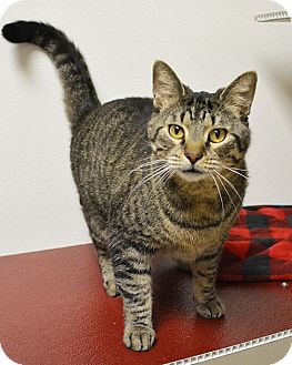 Domestic Shorthair Cat for adoption in Springfield, Illinois - Todd