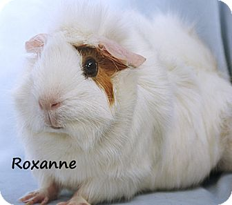 Guinea Pig for adoption in Santa Barbara, California - Roxanne