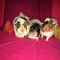 Adopt A Pet :: Blossom, Bubbles & Buttercup - Fullerton, CA