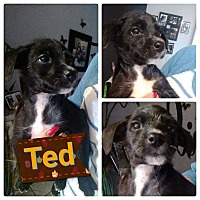 Adopt A Pet :: Ted - LAKEWOOD, CA