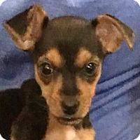 Adopt A Pet :: Daffodil - Bloomington, IL