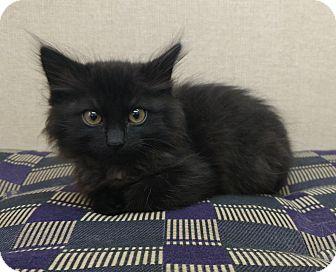 Domestic Longhair Kitten for adoption in Sterling, Kansas - Champion