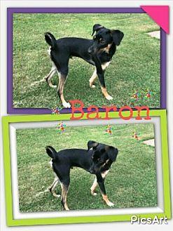 Chihuahua Mix Dog for adoption in Madison, Alabama - Baron