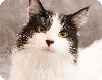 Domestic Longhair Cat for adoption in Chicago, Illinois - Baloo
