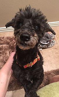 Poodle (Miniature) Mix Dog for adoption in Dallas, Texas - Roussel