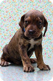 Hound (Unknown Type) Mix Puppy for adoption in Waldorf, Maryland - Saturn