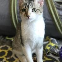 Domestic Shorthair/Domestic Shorthair Mix Cat for adoption in Clarksdale, Mississippi - Zander