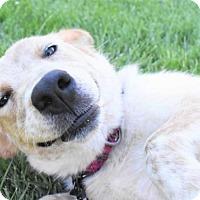 Adopt A Pet :: Goldifox - Fayette, MO
