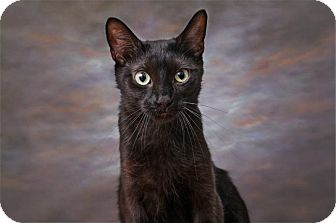 Domestic Shorthair Cat for adoption in Sterling Heights, Michigan - Shimmer