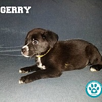 Adopt A Pet :: Gerry - Kimberton, PA