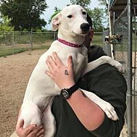 Adopt A Pet :: Bella - Glenwood, MN