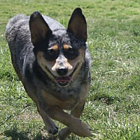 Adopt A Pet :: Amelia - Henderson, NV