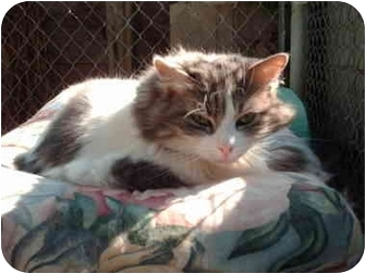 Domestic Mediumhair Cat for adoption in El Cajon, California - Bella
