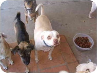 Pug/Chihuahua Mix Dog for adoption in SCOTTSDALE, Arizona - JACK
