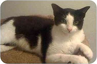 Domestic Shorthair Cat for adoption in Tomball, Texas - Amber