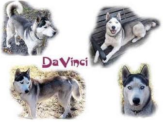 Siberian Husky Dog for adoption in Seminole, Florida - DaVinci