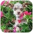 Photo 1 - Chihuahua Mix Puppy for adoption in Santa ana, California - ELLIE