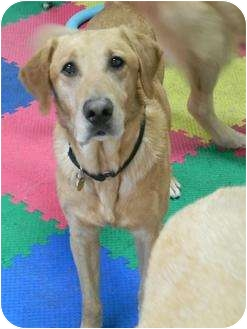 Labrador Retriever Dog for adoption in Racine, Wisconsin - Soney