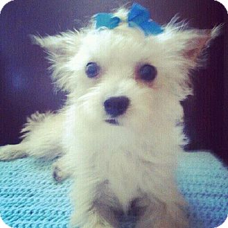 Westie, West Highland White Terrier/Poodle (Miniature) Mix Dog for adoption in north hollywood, California - Banks