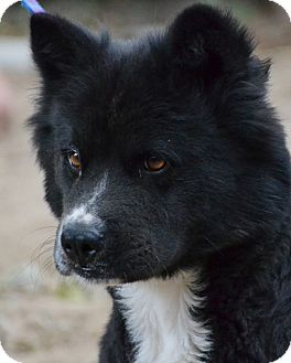 Chow Chow Mix Dog for adoption in Bellevue, Nebraska - Sampson