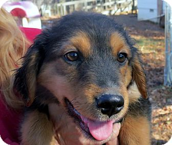 Spaniel (Unknown Type) Mix Puppy for adoption in berwick, Maine - River