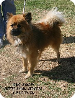 Pomeranian Mix Dog for adoption in Yuba City, California - 09/27 Squeaky