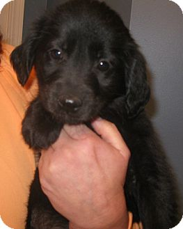 Labrador Retriever Mix Puppy for adoption in Schaumburg, Illinois - Arizona