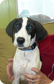 Labrador Retriever/Hound (Unknown Type) Mix Puppy for adoption in Eastpoint, Florida - Blue