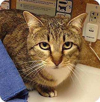 Domestic Shorthair Cat for adoption in Elgin, Texas - Tara