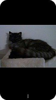 Domestic Mediumhair Kitten for adoption in Lexington, Kentucky - Mist
