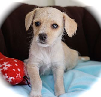 Jack Russell Terrier/Terrier (Unknown Type, Small) Mix Puppy for adoption in La Habra Heights, California - Tippy