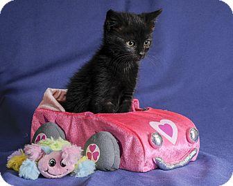 Domestic Shorthair Kitten for adoption in Wayne, New Jersey - Ballou