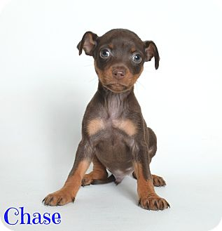 Miniature Pinscher Mix Puppy for adoption in Metairie, Louisiana - Chase