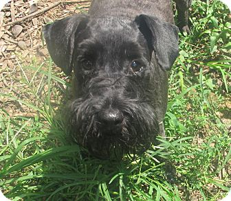 Schnauzer (Miniature)/Poodle (Miniature) Mix Dog for adoption in Spring Valley, New York - Maximo