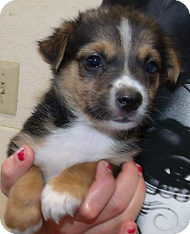 Cattle Dog/Chihuahua Mix Puppy for adoption in Corona, California - EDDIE