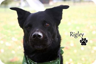 Labrador Retriever Mix Dog for adoption in Coldwater, Michigan - Wrigley - IN TRAINING