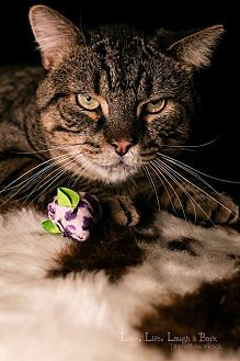 Domestic Shorthair Cat for adoption in Ottawa, Ontario - Michael