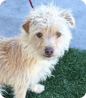 Terrier (Unknown Type, Small) Mix Dog for adoption in Las Vegas, Nevada - Benji