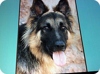 German Shepherd Dog Dog for adoption in Los Angeles, California - RAMBO VON RUDOLF
