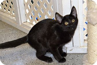 Domestic Shorthair Kitten for adoption in Michigan City, Indiana - Lester