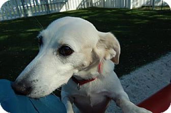 Retriever (Unknown Type) Mix Dog for adoption in Bradenton, Florida - Mrs. Peacock