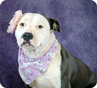 Pit Bull Terrier Dog for adoption in West Springfield, Massachusetts - Bella