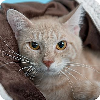 Domestic Shorthair Cat for adoption in Wilmington, Delaware - Javi