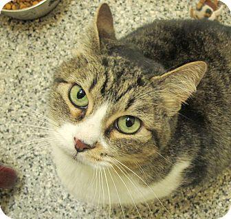 Domestic Shorthair Cat for adoption in Eastsound, Washington - Tweet